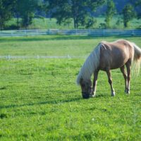 Adorable Palomino Pony for sale